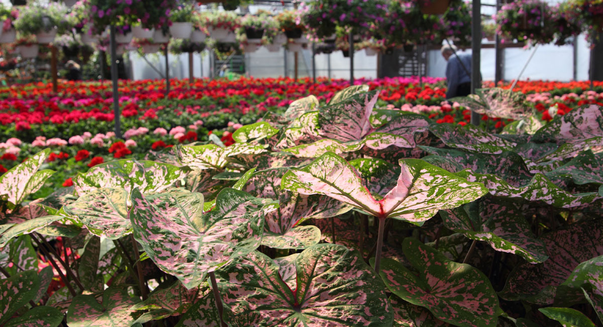 Production_Caladiums