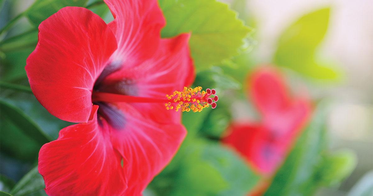 How to Care For Tropical Hibiscus | Prairie Gardens & Jeffrey Alans