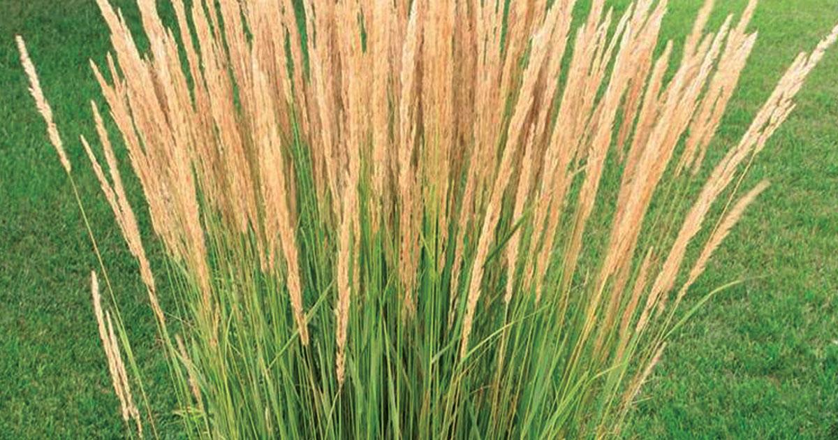 2019 Grass Variety List Prairie Gardens Jeffrey Alans